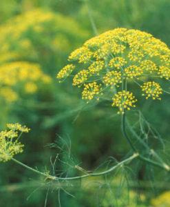Aromatične i lekovite biljke