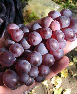 Stare sorte grožđa