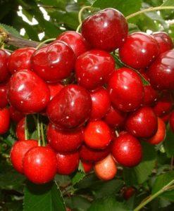 Sadnice voća